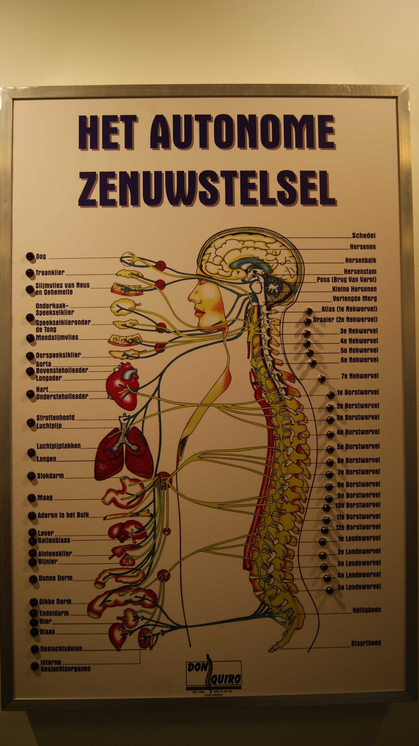 Het Autonome Zenuwstelsel